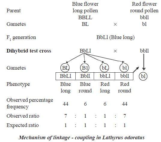 dihybrid cross punnett square worksheet laveyla – Dihybrid Cross Worksheet