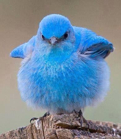 Puff blue bird!
