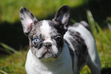 Pin By Susan On French Bulldog Puppies Available Merle French Bulldog French Bulldog Puppies Dog Breeder