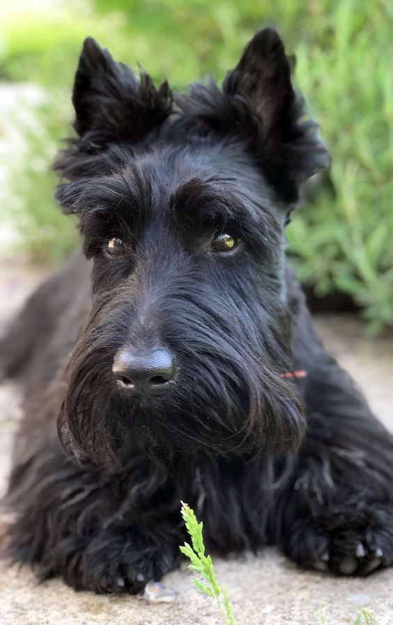 1 Year old ! 'Notre Max' / scottie. Probably the most beautiful in the world. #mostbeautifulpuppiesintheworld