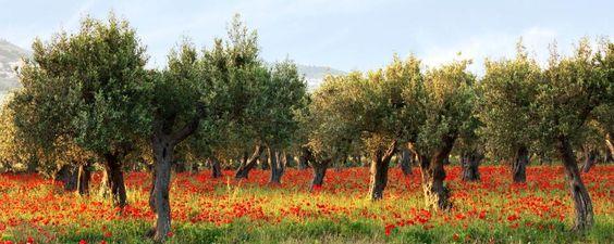 Le olive verdi d'Algeria