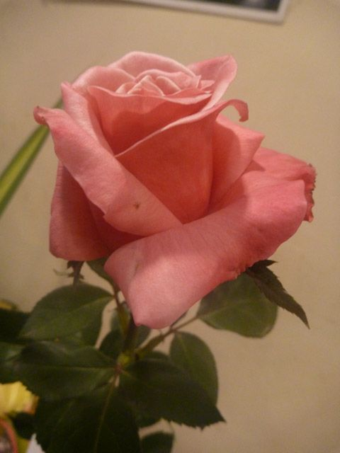 Beautiful pink rose - pd pic