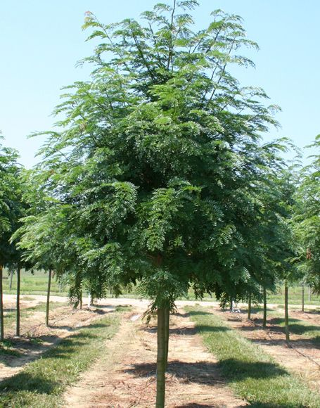 Shademaster honeylocust tree it is thornless podless for Great small trees