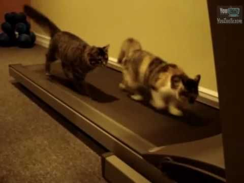 Gatti sul tapis roulant... allenamento o divertimento? / Cats on tapis roulant... training or funny?