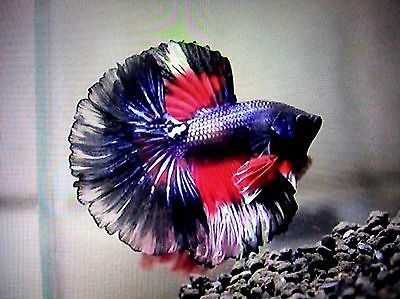 Beautiful faucons and poisson combattant on pinterest for Ebay betta fish