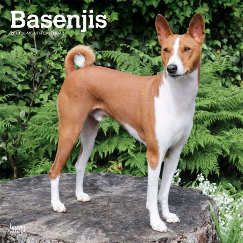 Basenjis 2020 Calendar A Small Shorthaired African Hunting Dog The Basenji Is A Barkless Canine That Appears To Prefer Dog Breeds Unusual Dog Breeds Dogs