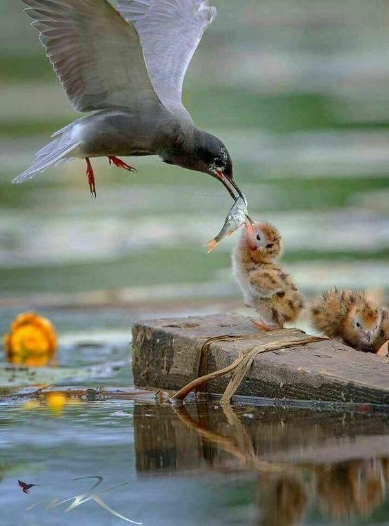 Maman nourrit ses bébés.