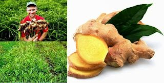 Small Business Ideas | List Of Small Business Ideas: Ginger Root Farming Business | Growing Ginger Root to Earn Money | আদা চাষে আয়