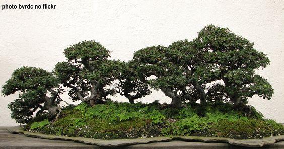 Bonsai floresta