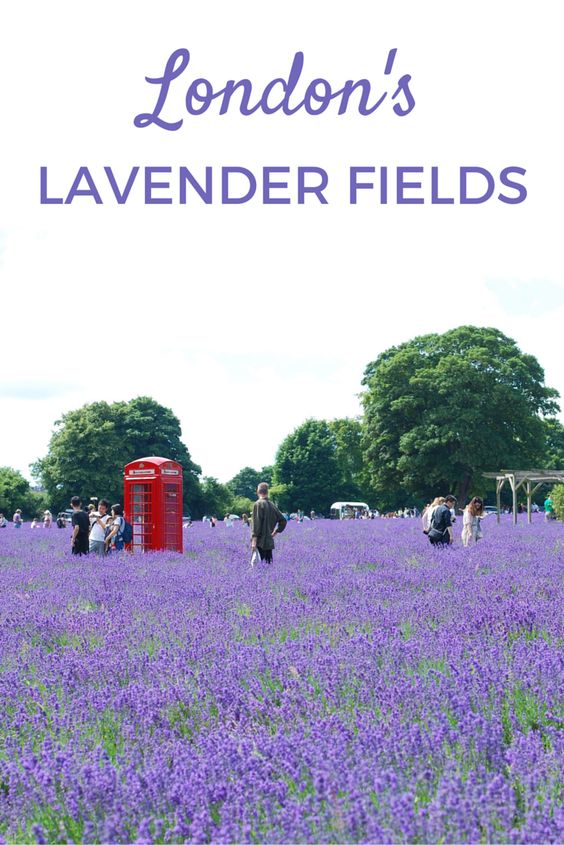 Did you know that you can find lavender fields just outside of central London? These look beautiful from June to September.