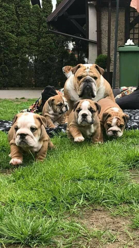 Bulldog Force Dogpictures Dogs Aww Cuteanimals Dogsoftwitter