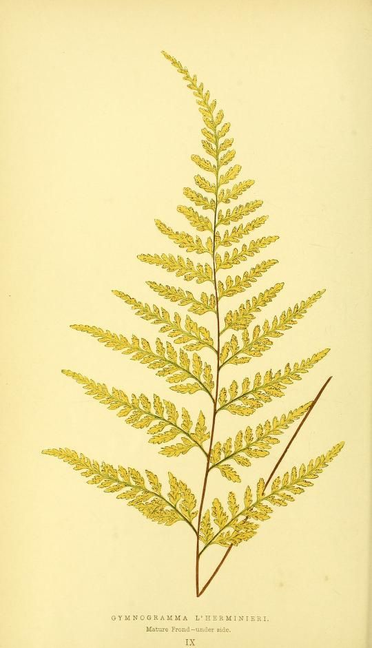 1856-60  -  Ferns: British and exotic... By  Lowe, E. J. - plate 9