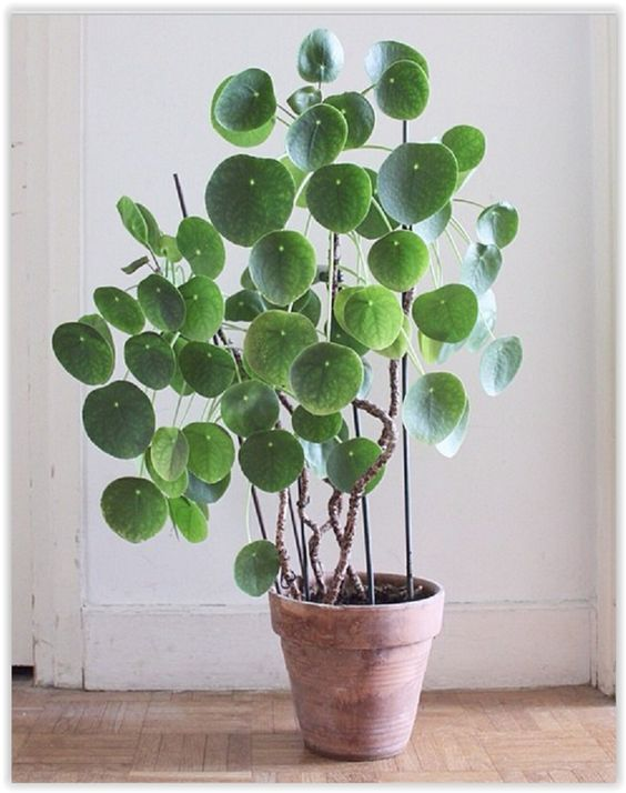 Pilea peperomioides known as chinese money plant pancake for Plante interieur haute
