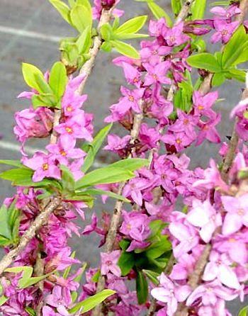 Daphne mezereum Rubra - Feuilles + Fleurs