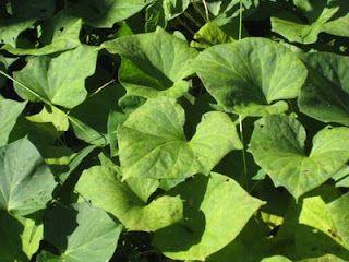 Sweet potato leaves are EDIBLE.