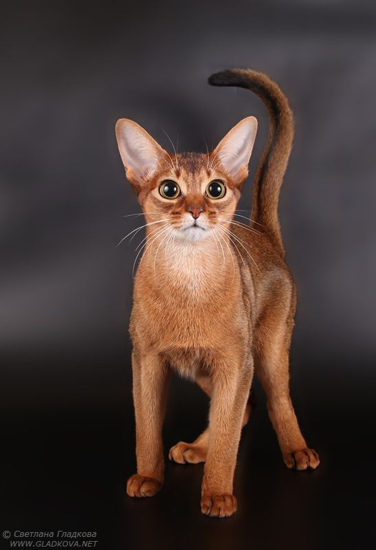 Die Abessinischen Katzenrassen Ahneln Den Beruhmten Skulpturen Und Gemalden Abessinischen Ahneln Beruhm Abyssinian Cats Egyptian Cat Breeds Cat Breeds