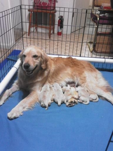 Litter Of 6 Golden Retriever Puppies For Sale In Clarksville Tn