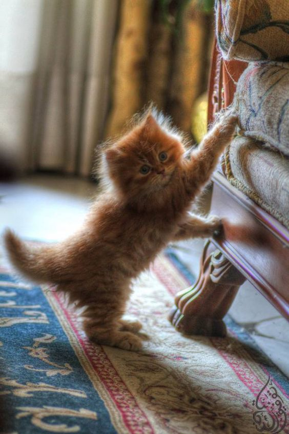 fuzzy ginger kittern | pet photography #cats
