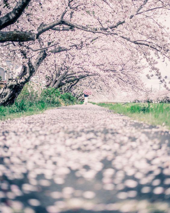 佐奈川堤の桜/何百メートルに渡る桜のトンネル