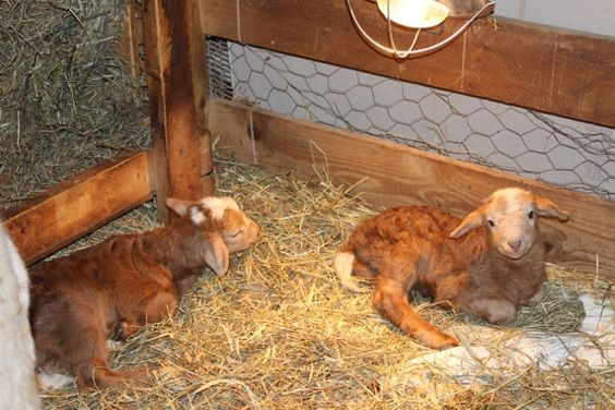 the 4th set of twins were born a couple Saturdays ago, 2 healthy boys. follow us on facebook at: highland farm and check out our website at: http://highlandfarmpa.com