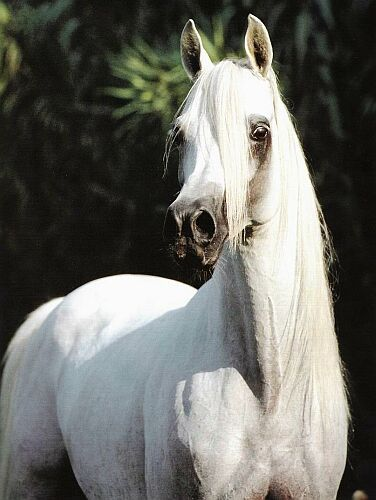 white arabian horse | Horses | Pinterest | Arabian horses ...