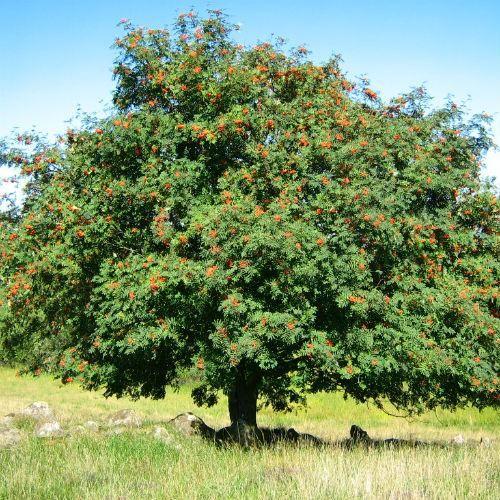 Sorbus Aucuparia Rowan Rowan Small Garden Mountain Ash Tree