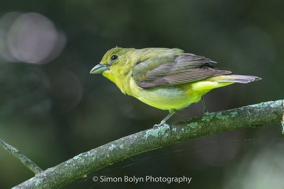 Scarlet Tanager female by Simon Bolyn