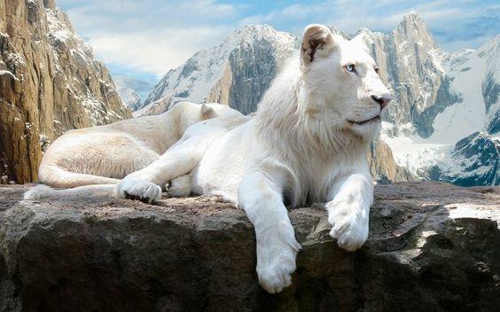 Albino lions - Leones albinos
