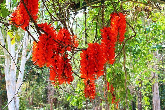 Mucuna novo-guineensis (red jade vine, New Guinea creeper)