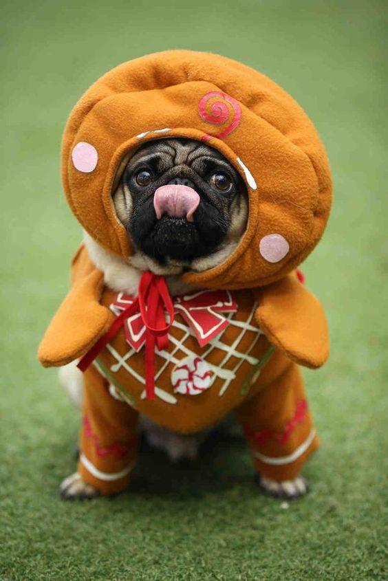 Gingerbread pug ~ #Pugfest, Christmas 2015 ~ #Cardiff (Action Petz, Tremorfa).