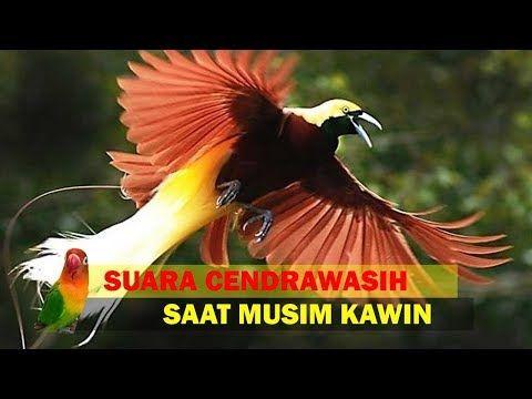 Pernah Dengar Suara Burung Cendrawasih Ternyata Begini Bunyinya Saat K4win Youtube Burung Suara Youtube