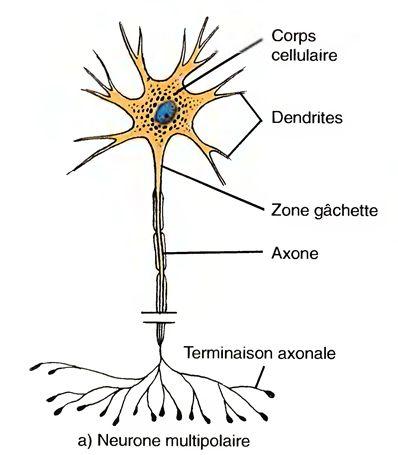 physiologie du systeme nerveux autonome pdf free