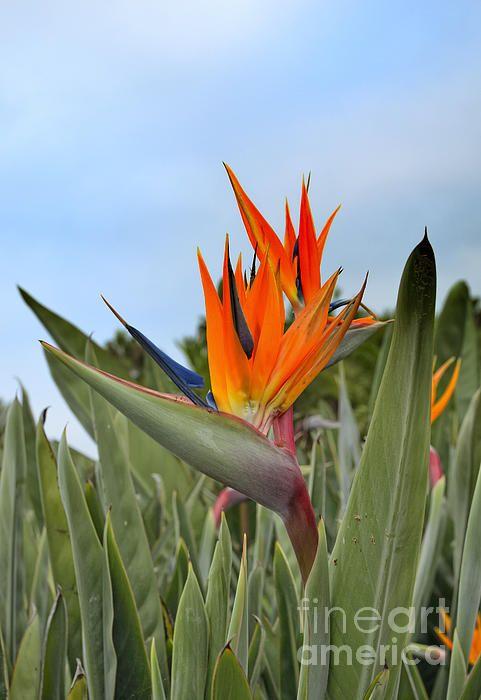 Title:  Bird Of Paradise Flower Strelitzia Regina   Artist:  Marianne Campolongo   Medium:  Photograph - Fine Art Photograph