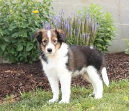Chase Shetland Sheepdog Puppy For Sale In Honey Brook Pa In 2020 Sheep Dog Puppy Puppies For Sale Shetland Sheepdog Puppies