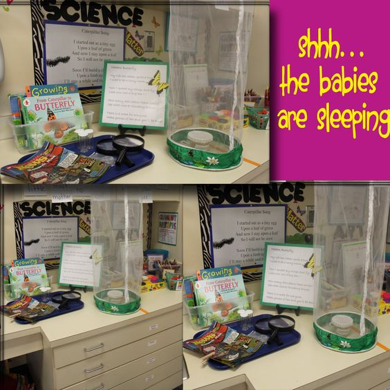 Classroom Unit Ideas : Science center butterfly unit classroom decorating