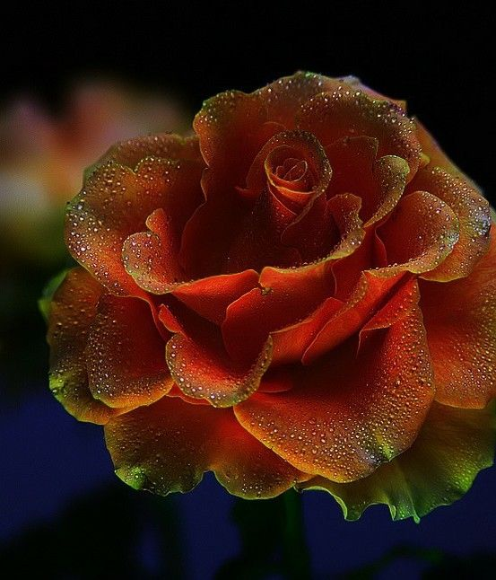 Dew Rose by catrulz: