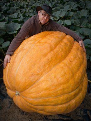 He loves his Pumpkin...   ALLEMAGNE, Fuerstenwalde. L'agriculteur Oliver Langheim montre dans son jardin sa citrouille de 320 kilos, le 20 septembre 2013. AFP/Patrick...