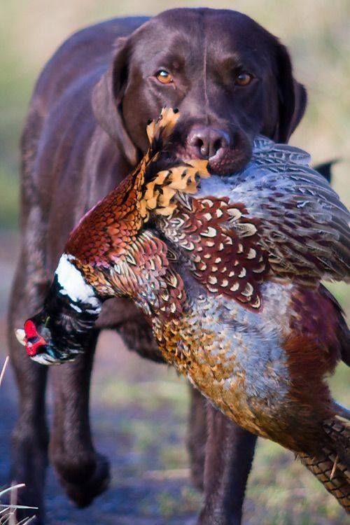 Labrador retrieving fowl in mouth