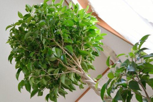 Фикус Бенджамина.  Хотите, чтобы в вашей квартире росло самое настоящее дерево, но у вас слишком мало для этого места? Или вы решили обустроить зимний сад в загородном доме? Подумайте о фикусе Бенджамина. Это изящное небольшое деревце с темно- или ярко-зелеными листьями по праву считается одним из самых красивых комнатных растении и станет настоящим украшением вашего жилища. Фото: © yoppy