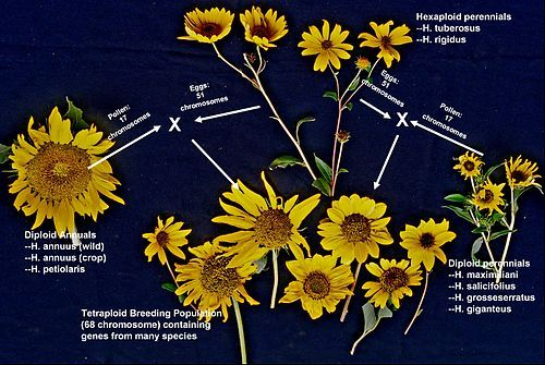 Perennial sunflower is a new crop being developed by crossing wild perennial and domestic annual sunflower species.
