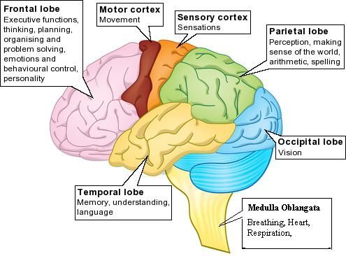 brain parts functions labeled printable - Google Search ...