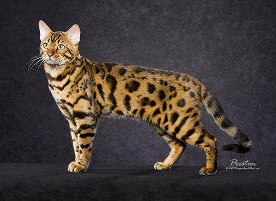 The Bengal cat.  This is a cross between the domestic cat and the Asian Leopard Cat.  This new hybrid breed can be very costly if you're wanting one for a pet.