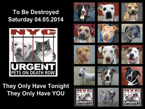TO BE DESTROYED - 4/5/14 PITTIES ARE IN DANGER AGAIN. ALL THESE DOGS COUNT ON US!!! LET'S NOT LET THEM DOWN!!! PLEASE OPEN YOUR HEARTS AND PLEDGE, TAKE THEM HOME, BUT BE QUICK AS TIME IS TICKING AWAY. THE LIST IS VERY LONG AGAIN AND WE WE HAVE SOLITTLE TIME SO BE QUICK WHEN MAKING UP YOUR UP. https://www.facebook.com/media/set/?set=a.611290788883804.1073741851.152876678058553&type=3