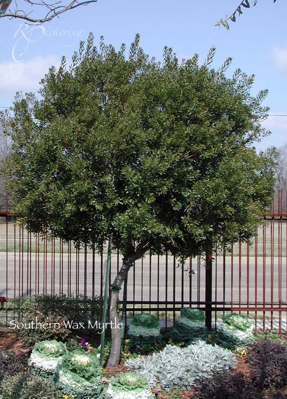 Southern wax myrtle nitrogen fixer and mosquito repellent for Wax landscape