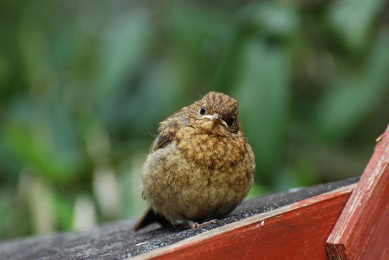 baby robin by moldridge2001, via Flickr