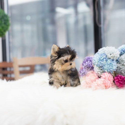 Mini Yorkie Terrier Dream Puppy Home Mini Yorkie Yorkie
