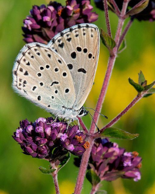 Maculinea Ligurica Butterfly