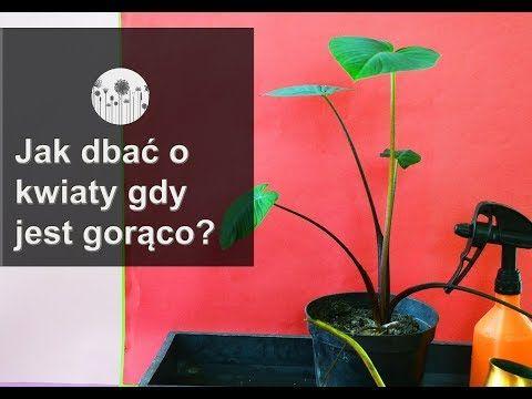 Jak Dbac O Kwiaty Gdy Jest Goraco Podsatwowe Zabiegi Pielegnacyjne Przy Upalach Youtube Home Decor Decals Decor Indoor Plants