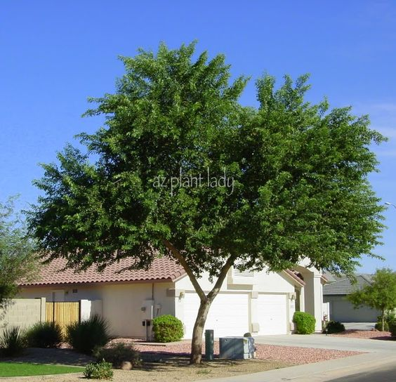 Videos pictures and deserts on pinterest for Fast growing trees