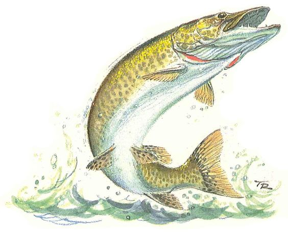 Musky Fish Drawing muskie on pinterest pike fishing , fishing and pike ...